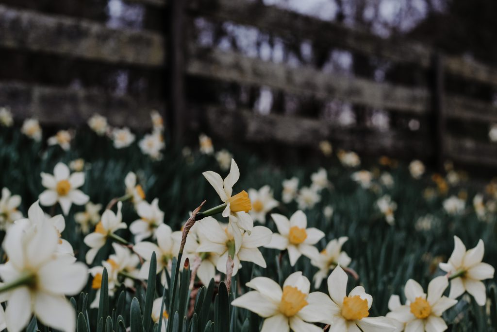 jonquils with fence