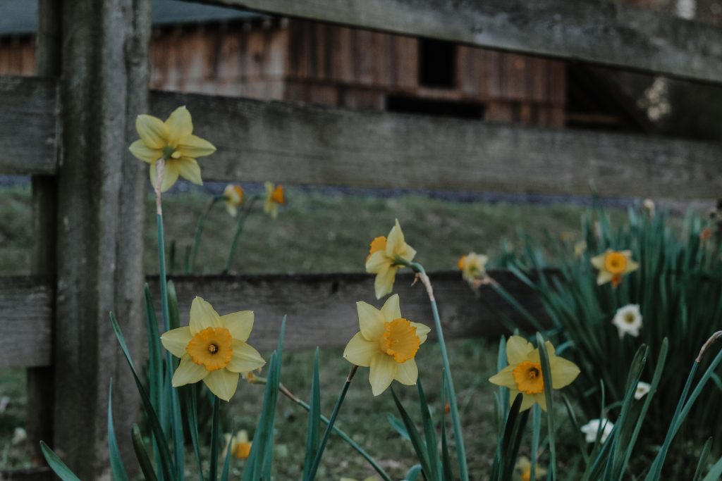 Jonquils with barn