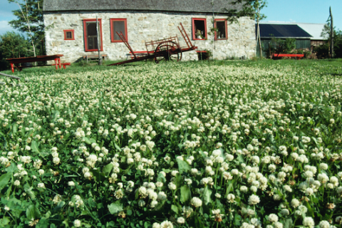 Field of white clover with barn