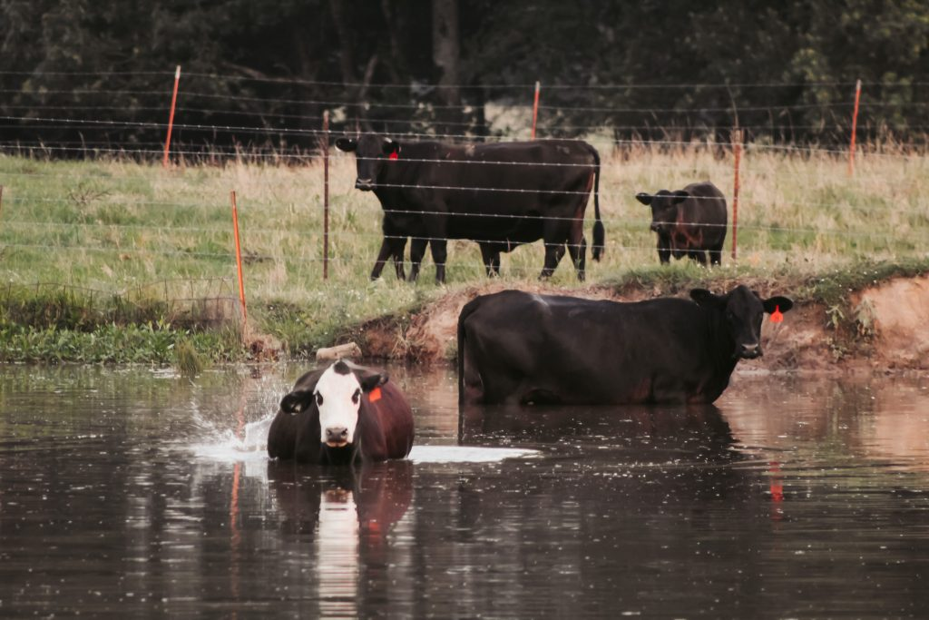 cow in pond