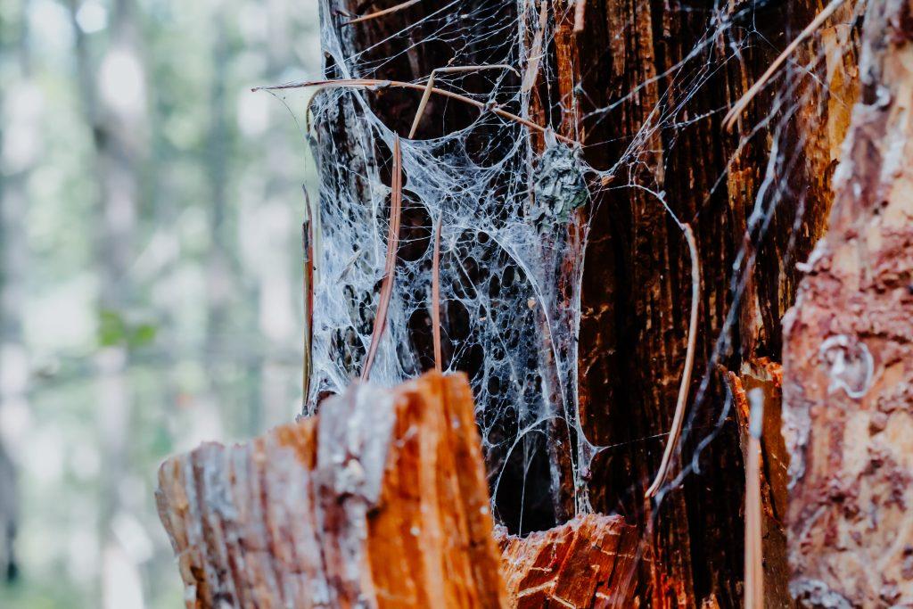 spider web on dead tree