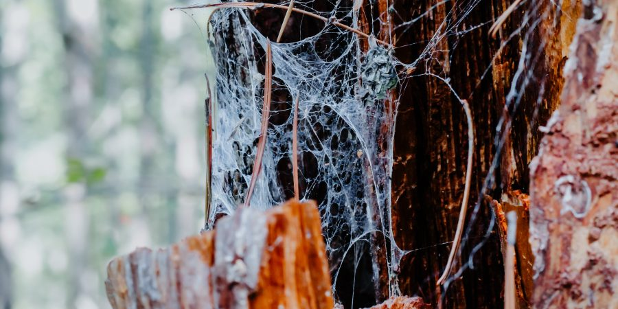 spider web on dead tree