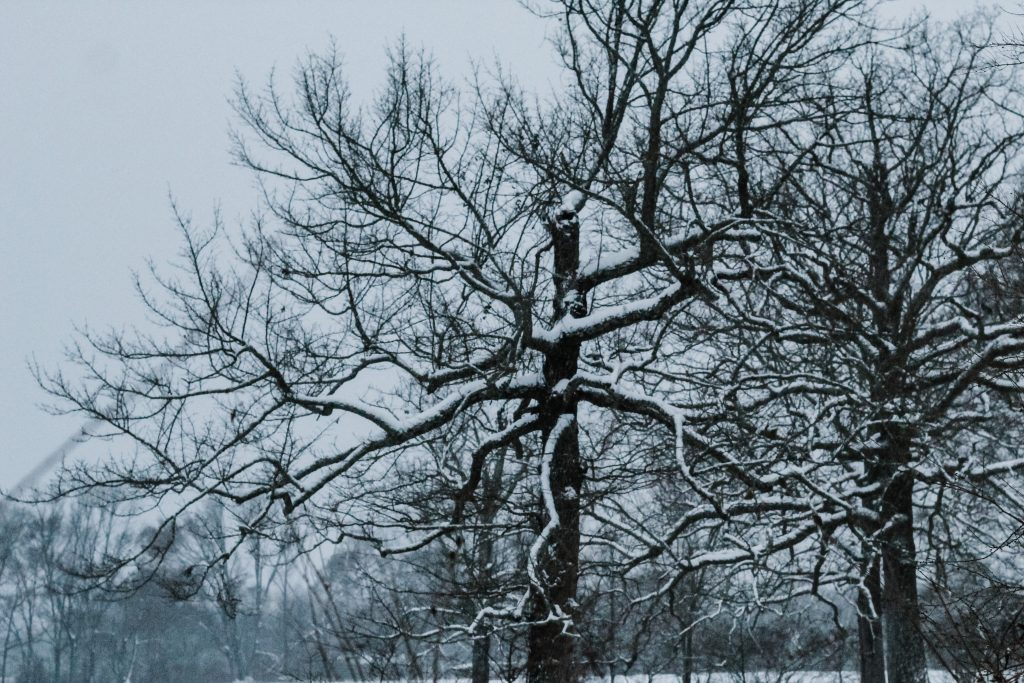 Snow on dormant oak tree